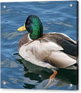Green Headed Mallard Duck Acrylic Print