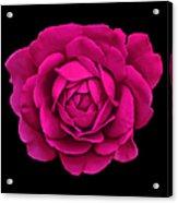 Dramatic Hot Pink Rose Portrait Acrylic Print
