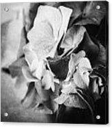 Dramatic Hydrangea In Black And White Acrylic Print