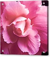 Dramatic Pink Begonia Floral Acrylic Print
