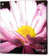 Dramatic Pink Acrylic Print