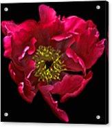 Dramatic Red Peony Flower Acrylic Print