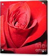 Dramatic Red Rose  Acrylic Print