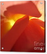 Glowing Orange Rose 2 Acrylic Print