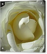 Dramatic White Rose 2 Acrylic Print