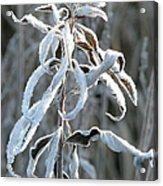 Draped In Frost Acrylic Print