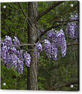 Draping Wisteria Frutescens Wildflower Vines Acrylic Print