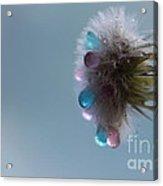 Dream Of The Dandelion Acrylic Print