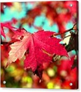 Dreaming Of Maple Jewels Acrylic Print