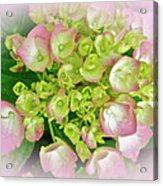 Dreaming Of Pink Hydrangeas Acrylic Print