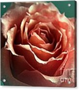 Dreaming Rose Acrylic Print