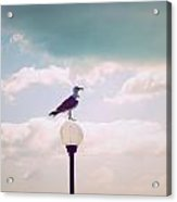 Dreaming Seagull Acrylic Print