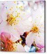 Dreamy Blossom Acrylic Print