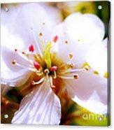 Dreamy Cherry Blossom Acrylic Print