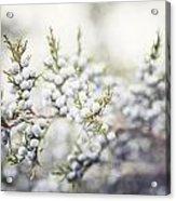 Dreamy Pastel Juniper Berries Acrylic Print