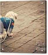 Dressed Up Dog Acrylic Print