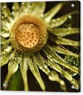 Dried Dandelion After Rain Acrylic Print