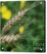 Dried Grass In Soft Focus Acrylic Print