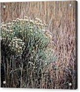 Dried Wildflowers Acrylic Print