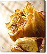 Dried Yellow Rose Acrylic Print
