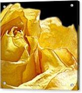 Dried Yellow Rose II Acrylic Print