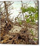 Drift Roots Acrylic Print