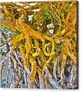 Queen Mariana's Driftwood Acrylic Print