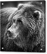 Drinking Grizzly Bear Black And White Acrylic Print