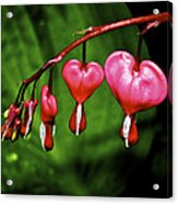 Drip Of The Heart Acrylic Print