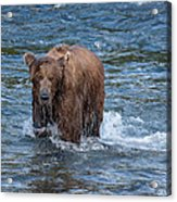 Dripping Grizzly Acrylic Print