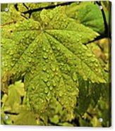 Dripping Vine Maple Acrylic Print