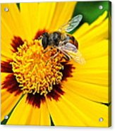 Drone Bee Acrylic Print
