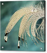 Droopy Feather Acrylic Print