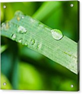 Drop Of Rainwater On A Grass Blade Acrylic Print