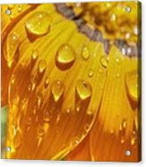 Droplets Of Gold Acrylic Print