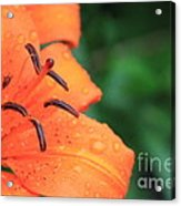 Droplets On Tiger Lily Acrylic Print