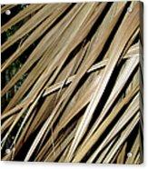 Dry Palm Leaves Acrylic Print