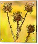 Dry Brown Thistle Acrylic Print