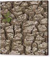 Dry Cracked Mud  Acrylic Print