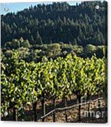 Dry Creek Road Vineyard Acrylic Print