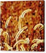 Dry Grass Acrylic Print