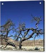 Dry Solitary Tree  Acrylic Print