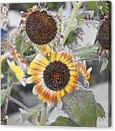 Dry Sunflowers Acrylic Print