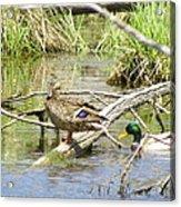Duck And Drake Acrylic Print