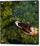 Duck And Fish Acrylic Print