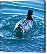 Duck Bath Acrylic Print