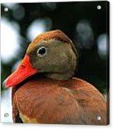 Duck Call Acrylic Print