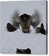 Duck Crash Landing Acrylic Print