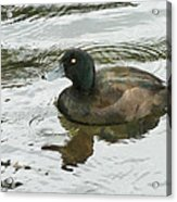 Duck Day Afternoon Acrylic Print