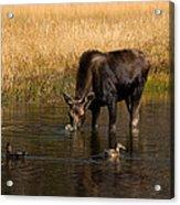 Duck Duck Moose Acrylic Print